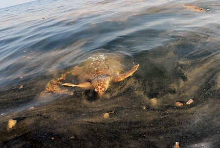 May 5  A sea turtle surfaces at , to feed on an oil-contaminated Portuguese man-of-war -- a sea creature often mistaken for a jellyfish. Since the spill, authorities have found 186 sea turtles, most of them dead.